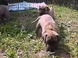 Brindle and fawn Great Danes puppies 28 days old to WOLF POINT romanian kennel