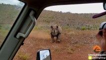 Grosse charge d'un Rhinocéros sur une voiture dans le parc Krueger en Afrique du sud