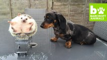 Cute Hedgehog Finds Puppy Love With Dachshunds