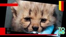 Kebun binatang Jerman mempersembahkan tujuh anak cheetah menggemaskan - Tomonews