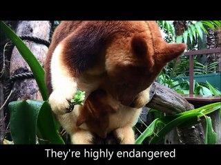 Mian, le bébé kangourou arboricole du Zoo de Perth sur Orange Vidéos 918135f9b1d