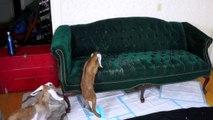 Des bébés chèvres apprennent à monter sur le canapé... WTF