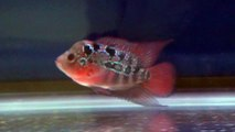 Masterpiece super red pearl dragon flowerhorn for sale - www
