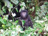 Bébé gorille se frappe le torse (Fail)