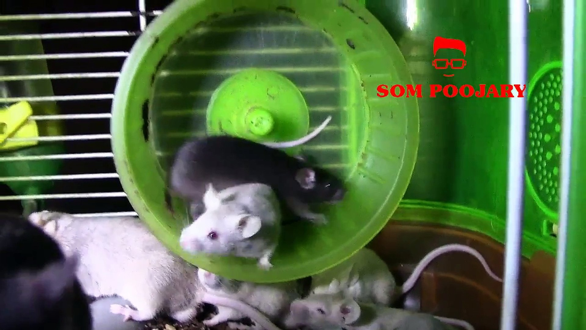 pet mice black,fancy pet mice India,pet mice India bangalore