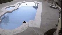Les chats aussi savent rigoler ! 2 chats sont à coté d'une piscine, la tentation est forte ... !