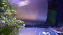 repro geophagus red head 2 mois