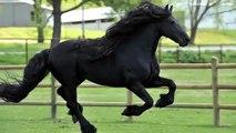 Avec sa crinière impressionnante, ondulée, brillante, Il a été élu le plus beau cheval du monde !