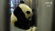 Des bébés pandas jumeaux voient le jour à Macao