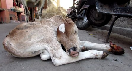Calf Rescued After Being Run Over