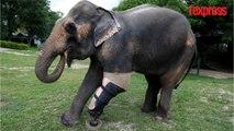 Thaïlande: des éléphants unijambistes marchent avec des prothèses