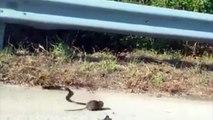 Une maman rat attaque un serpent pour sauver son bébé !