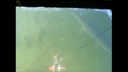 Northern Pike Spearing 20 Plus Pounds
