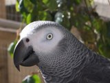 THE African Grey! Ruby, The swearing parrot. X Rated Parrot. THE ORIGINAL!!