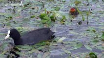 Newly-hatched coots try to keep up with their mum
