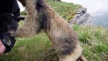 Un homme se repose dans l'herbe. Puis une marmotte surgit et l'attaque devant la caméra...