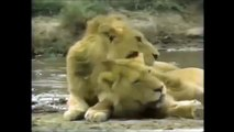Crater Lions of Ngorongoro African Animals Wildlife Documentary | Full Documentry