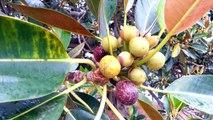 Ficus Gigant - Top 10 Bonsai - Ficus rubiginosa  HD 12