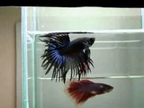 { Sold out } Betta Splendens : (0310-23) Black orchid CTM.mp4