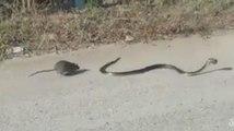 Ce rat fait tout pour sauver son bébé !