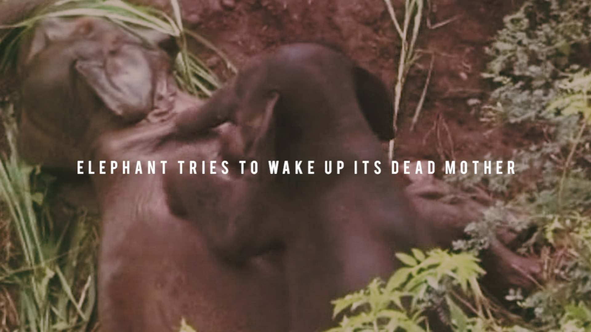 Heart-breaking footage of a baby elephant trying to wake up its dead mother