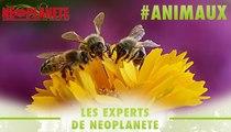 [Les experts] Comment les abeilles dansent-elles pour notre survie ?