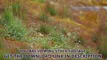 Fresh green grass in meadow, organic herbal tea for healthcare, eco cosmetology. Stock Footage