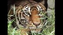 lion vs tiger fight - Lion vs Tiger Real Fight 2016   Lion vs Tiger Best Attack Compilations HD