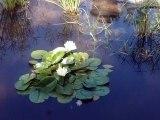 le tinta(mare) à grenouilles, dans le silence des Lotus