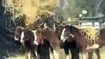 Découvrez les « Clydesdales de Budweiser », ces chevaux tout à fait exceptionnels !