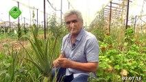 Aloe Vera, Ormus Tarım ile Kaliteli Aloe Vera, Ormus Tarım ile Aloe Vera Yetiştirme, Ormus Tarım