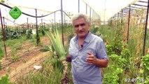Aloe Vera ile Alerji Tedavisi, Ormus Tarım ile Daha Lezzetli Aloe Vera, Ormus Tarım ile Aloe Vera