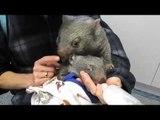 Orphaned Wombat Calmly Finishes Milk Despite Hyperactive Joey