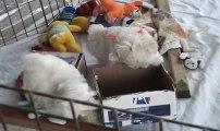 ♥♥ CUTE PUPPIES!!- 8 Weeks Old- Puppies vs. Cat! !