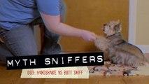 Handshake vs. Butt Sniff - Myth Sniffers: Debunking Human Myths