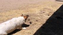 Ce chien joue à cache cache avec une taupe