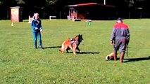 Just a belieber des canis du Brabant - 20 mois - 1ers essais au mordant (RCI)