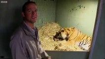 Une maman tigre donne naissance à son bébé au zoo mais le petit semble avoir des problème de respiration... Heureusement maman est là