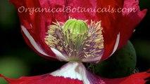 Papaver Somniferum Poppies via OrganicalBotanicals.com 2016 Poppy Seed Collection Part 2