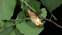 Magicicada septendecim molting May 29, 2016 in Ohio, USA