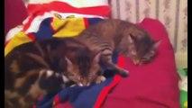 Chat marrant:TOP 10 DES CHATS MARRANTS ET MIGNONS FUNNY CAT