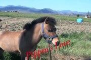 Des chevaux magnifiques viennent dire bonjour à un petit poney   trop mignon