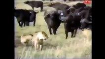 قطيع من الجواميس البرية تهاجم الأسود ليلا ونهارا إلي بقلبو بقلبو زايد