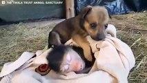 Adorable : ce chiot tient absolument à dormir avec un singe