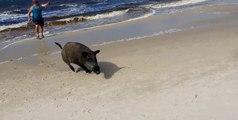 Un sanglier surgit de l'océan et sème la panique sur une plage