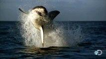Amazing Shark Breaches Caught on Video