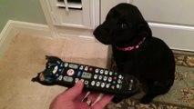 Ce que fait ce chien, quand sa maîtresse lui montre la télécommande Mastiquée est trop mignon !