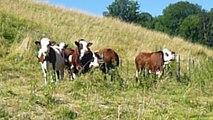 Vaches savoyardes... curieuses