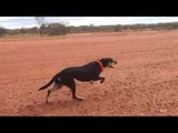 Slow Motion Video of Australian Working Dogs Sprinting
