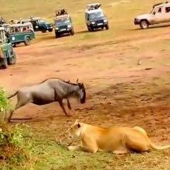 Un león enseñando a cazar a una leona